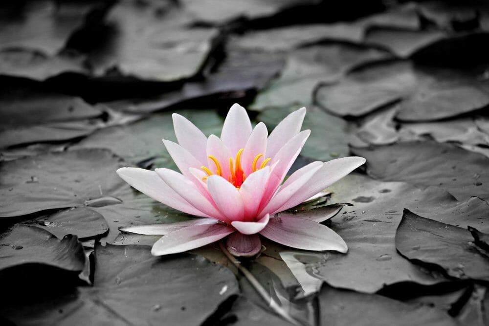 aquatic-plant-beautiful-bloom-127584